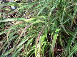 native japanese plants brownstoner brownstoner