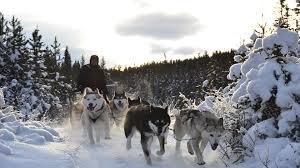 dog sledding history snowy owl sled dog tours
