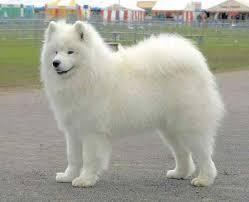 white dog breeds big Big Fluffy White Dog
