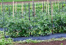 Tomatoes Trellis Trellising Your Organic Tomatoes High Mowing Organic Non Gmo Seeds