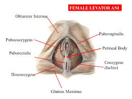 Perineum Anatomy Female Female And Male Pelvic Anatomy Ppt Video Online Download