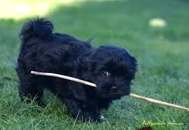 affenpinscher good bad choosing a reputable breeder