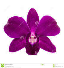 purple orchid flower up of single purple orchid flower on white background stock