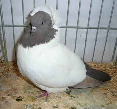 302 best beautiful pigeons images on pigeon beautiful