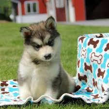 belgian shepherd x alaskan malamute alaskan malamute puppies for sale greenfield puppies