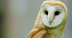 Scientific Name Of Barn Owl Common Barn Owl Birds Of India Bird World