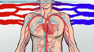 Anatomy Of The Heart And Its Functions What Is The Cardiovascular System Function U0026 Organs Video