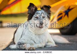 australian shepherd mix with border collie border collie australian shepherd mix dog lying down in front of
