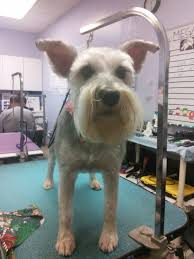 affenpinscher webster s all breed pet grooming full service pet grooming in springfield mo
