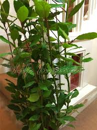 Fragrant Patio Plants - hardy fragrant laurus nobilis sweet bay tree in pot indoor outdoor