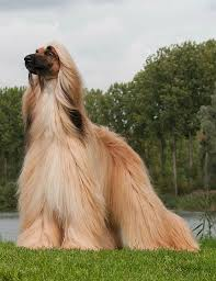 afghan hound in clothes 90 best afghan hound my dream dog images on pinterest afghan