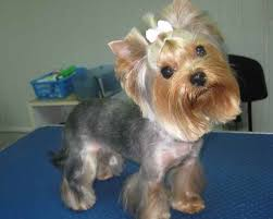 Haircuts For Yorkie Dogs Females | yorkie haircuts for males and females 60 pictures yorkie life