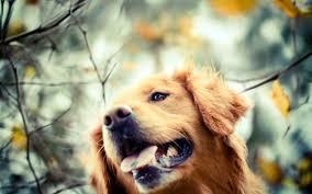 Dog Wallpapers Golden Retriever Dog Wallpaper Background 49691 2560x1600 Px