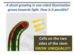 What Is Growth Movement Of A Plant Toward Light Called Tropisms