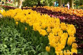 flower garden in amsterdam the netherlands in bloom tulip festival in amsterdam keukenhof
