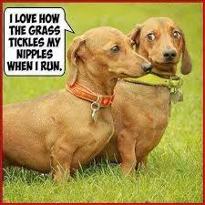 Weiner Dog Meme - dachshunds dirty imgur