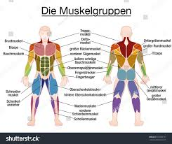Anatomy And Physiology Labeling Muscle Chart German Labeling Most Important Stock Vector 676550137