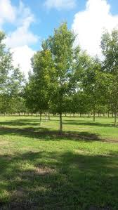 wilkinson tree farm our tree farm beautiful live oaks fast