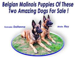 belgian malinois import pup for sale belgian malinois puppies for sale in massachusetts