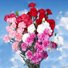 carnations in bulk s day 300 spray mini carnations wholesale flowers