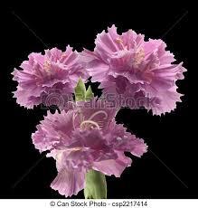 purple carnations posie of purple carnation flowers posy of purple carnations