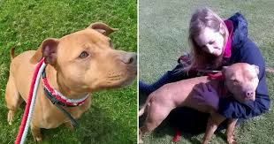 american pitbull terrier uk law pitbull type dog to be put down despite family wanting to adopt