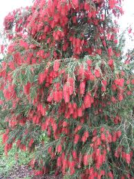 Trees Plants And Flowers - weeping bottle brush tree i want one of these the are beautiful