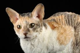 calico cat breeds you u0027ll be surprised to know about