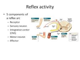 Motor Reflex Arc The Spinal Cord Spinal Nerves And Spinal Reflexes Ppt Video