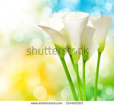 Calla Lily Flower Purple Calla Lily Stock Images Royalty Free Images U0026 Vectors
