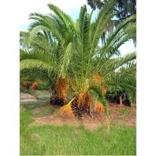 sylvester palm tree price wholesale palm trees florida palm nursery tree farm landscaper