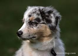 australian shepherd puppy australian shepherd puppy 4 jpg