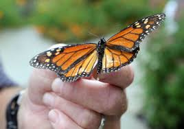 here s why you didn t see that many monarch butterflies in cape