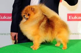 australian shepherd crufts 2015 amicus optimus antonius leonberger dog shows crufts 2013
