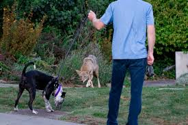 what to do if you encounter a coyote while walking your dog the
