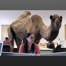 Camel Memes - hump day camel meme generator