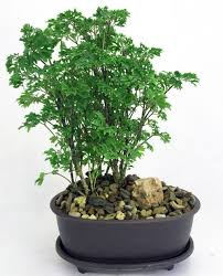 amazon com hirt u0027s ming bonsai tree with decorative stone