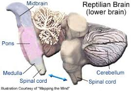 Part Of The Brain Stem That Is Involved In Arousal Reptilian Brain Crystalinks