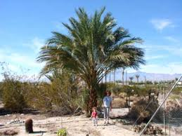 palm sunday palms for sale medjool date palm trees for sale medjool dates