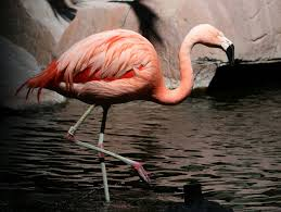 birds of the world flamingos