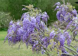 Tree With Purple Flowers Choose Hardy Wisterias For Colorful Hanging Flowers Mississippi