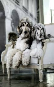afghan hound tattoo 932 best afghan hound images on pinterest afghan hound afghans