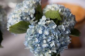 wholesale hydrangeas blue hydrangeas make gorgeous do it yourself budget wedding