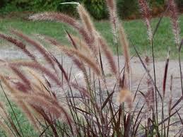 ornamental grasses landscape ontario green for