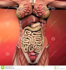 Human Body Anatomy Pics Female Human Body Anatomy Stock Illustration Image 55303040