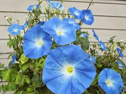 four hills of squash the heavenly blue morning glory