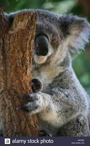 a sick koala at taronga zoo sydney australia stock photo