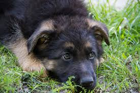 Light Sable German Shepherd 7 Facts About The German Shepherd Animalso
