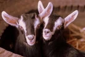 animali da cortile definizione vendita capre pecore e capre