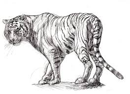 tiger in sketch